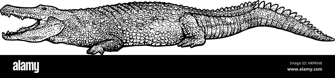 Crocodile illustration, drawing, engraving, ink, line art, vector - Stock Image