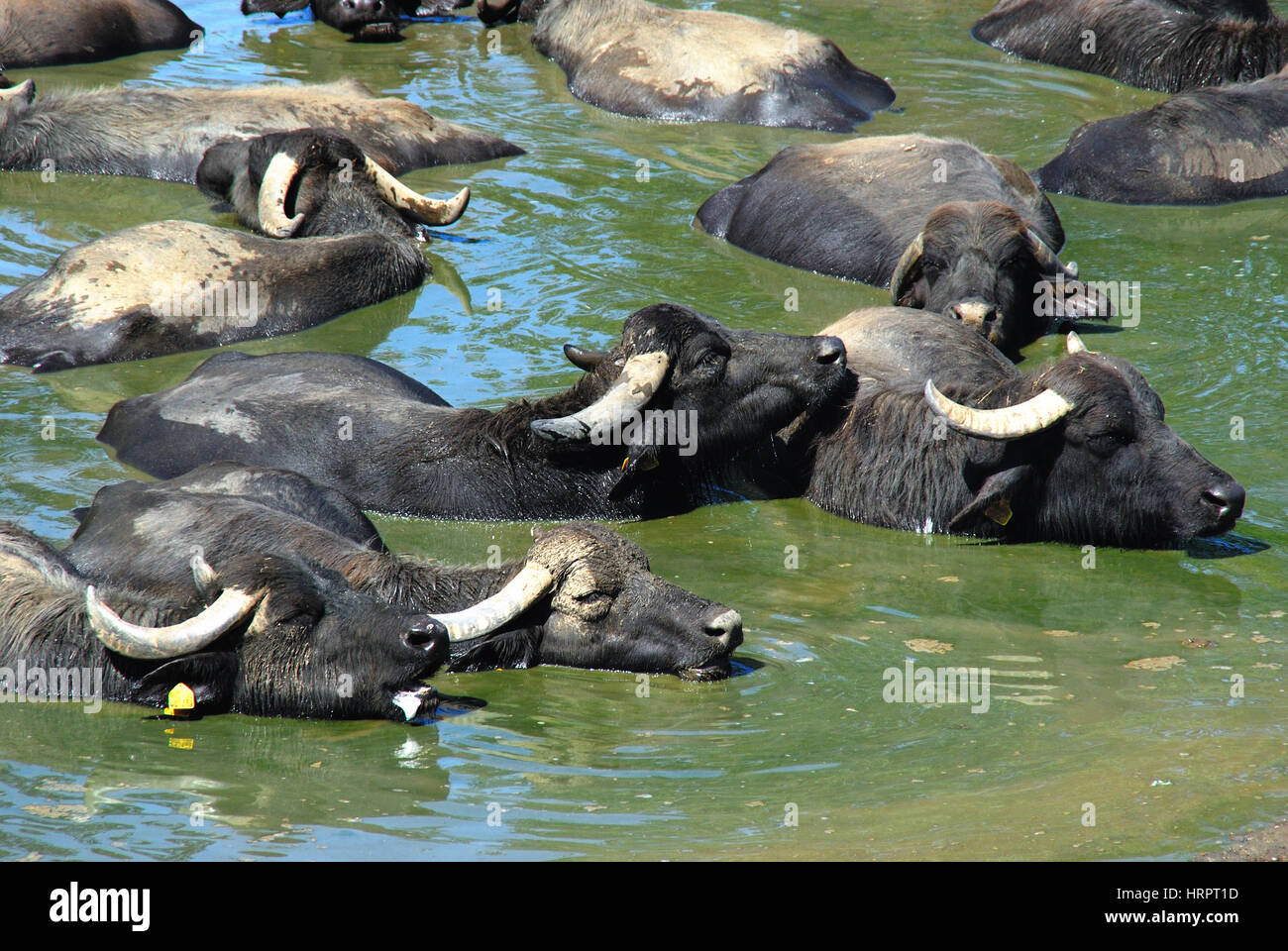 Alvignano, Caserta, Italy. Italian Mediterranean buffaloes bathe in a puddle.  Campania region is the largest producer Stock Photo
