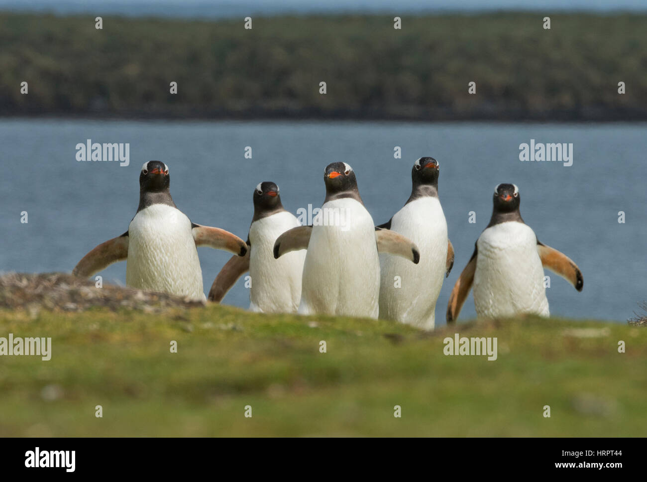 Gentoo Penguins (Pygoscelis papua) marching from the sea to their breeding colony inland, Falkland Islands Stock Photo