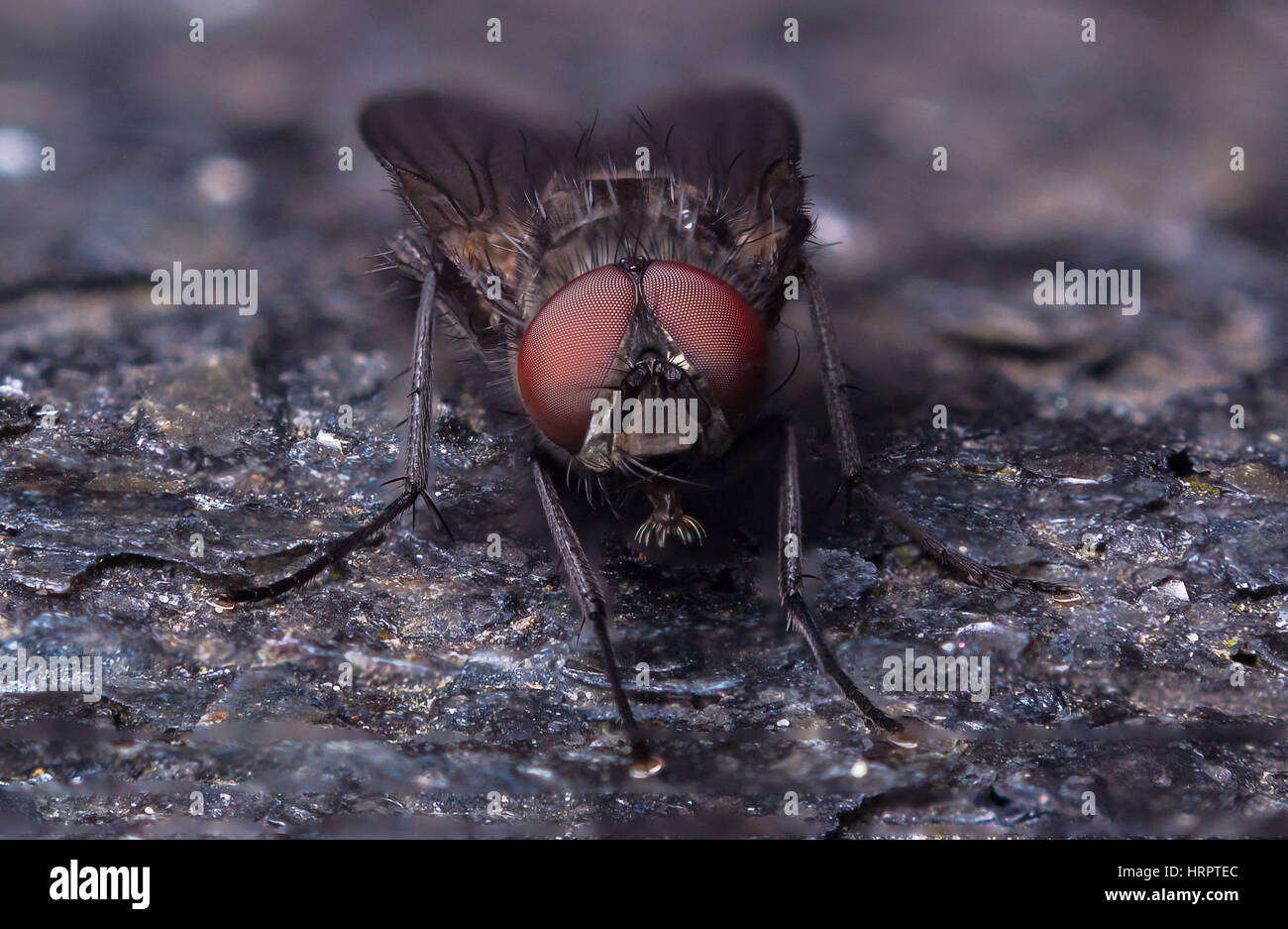 Close up anterior view of a fly. Extreme detailed photograph of the compound eyes. - Stock Image
