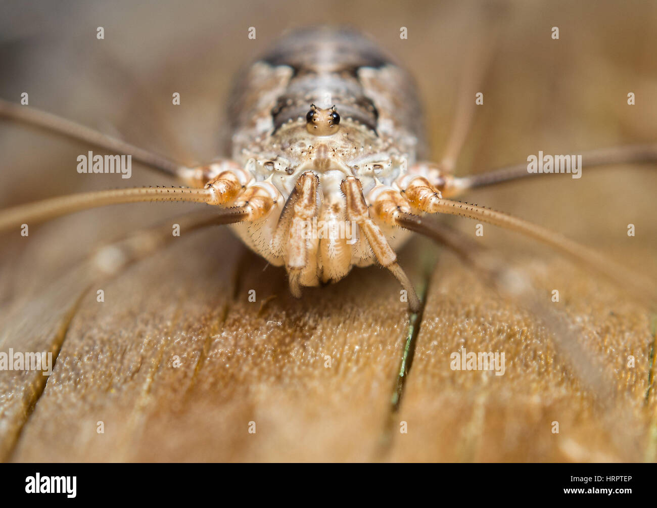 Extreme macro photo anterior view of a harvestmen or daddy longlegs. Opiliones - Stock Image