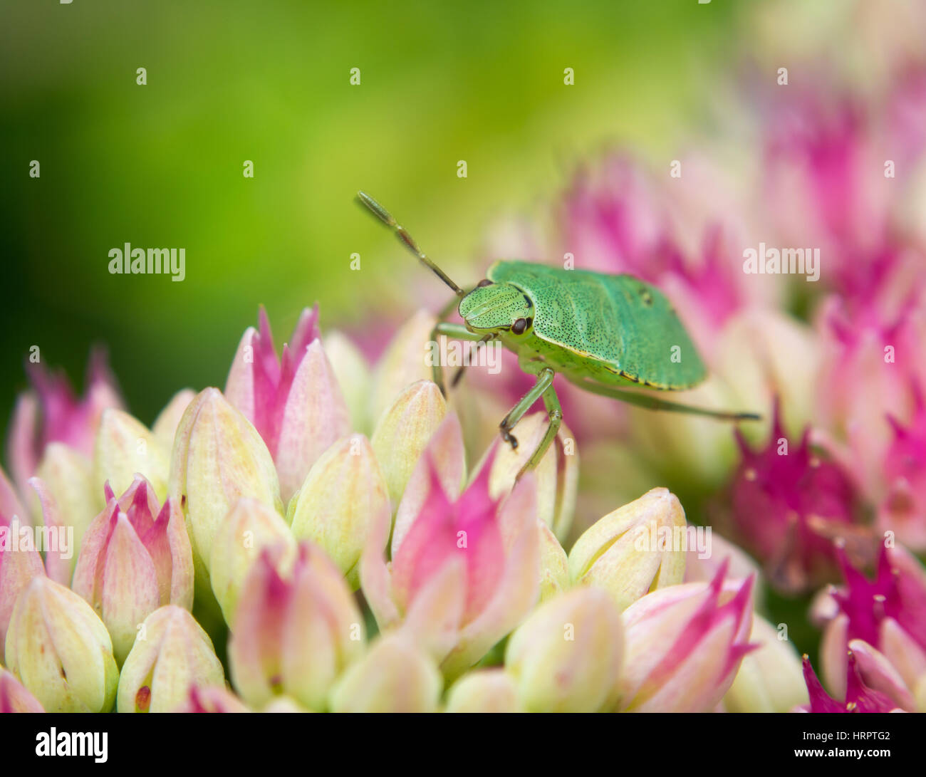 Tiny pink flowers stock photos tiny pink flowers stock images alamy colorful scene of a green stinkbug on top of some tiny pink flowers stock mightylinksfo