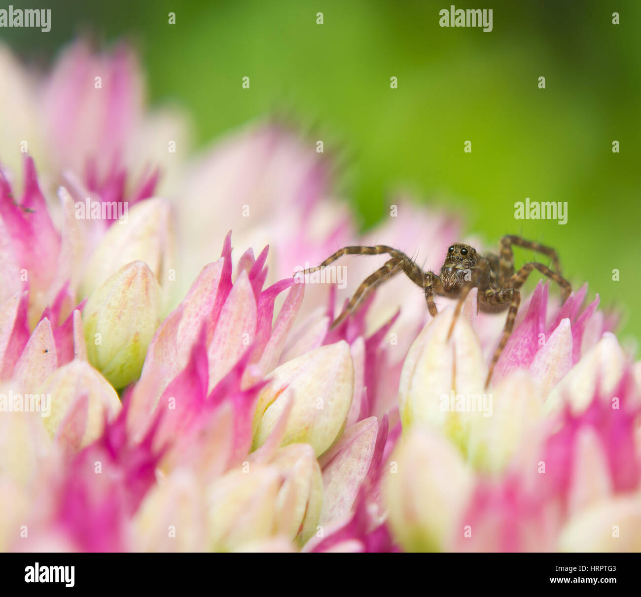 Common wolf spider on top of pink flowers. Pardosa pullata. - Stock Image