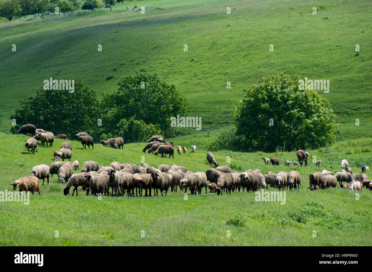 Herd of livestock grazing. Sheep, goats and donkey green meadow. - Stock Image