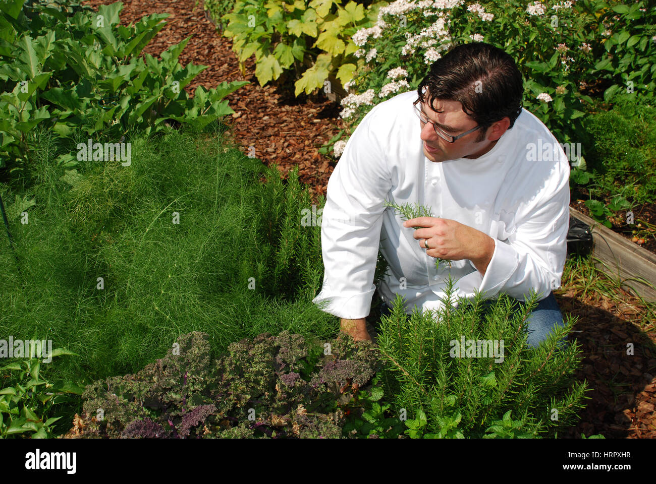 Chef in rosemary garden selecting product - Stock Image