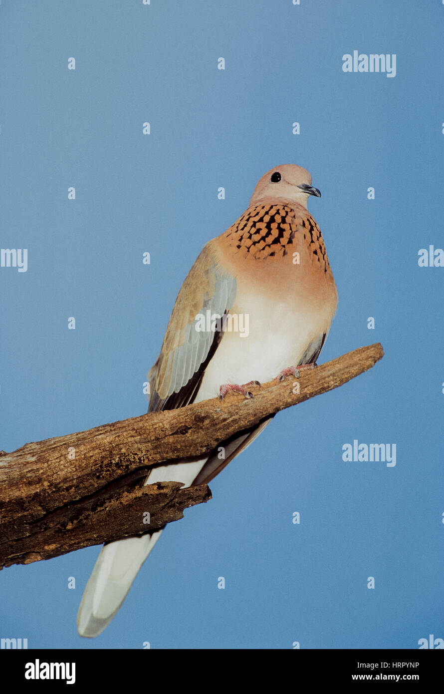 Laughing Dove or Little Brown Dove, (Spilopelia senegalensis cambayensis), perched on tree, Keoladeo Ghana National - Stock Image