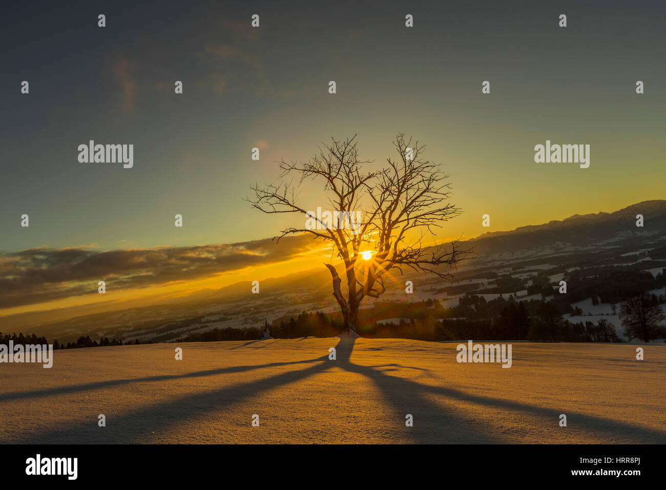 Sun shines through bare tree in winter, sunrise behind Allgäu Alps, Bavaria - Stock Image