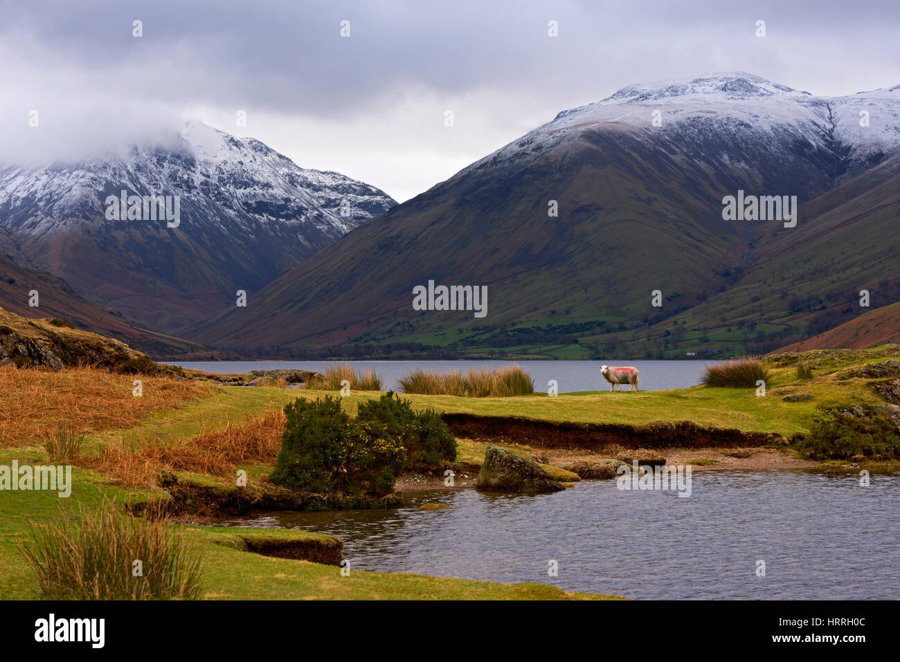 Herdwick sheep, Wastwater, Wasdale, Lake District National Park, Cumbria, England UK Stock Photo