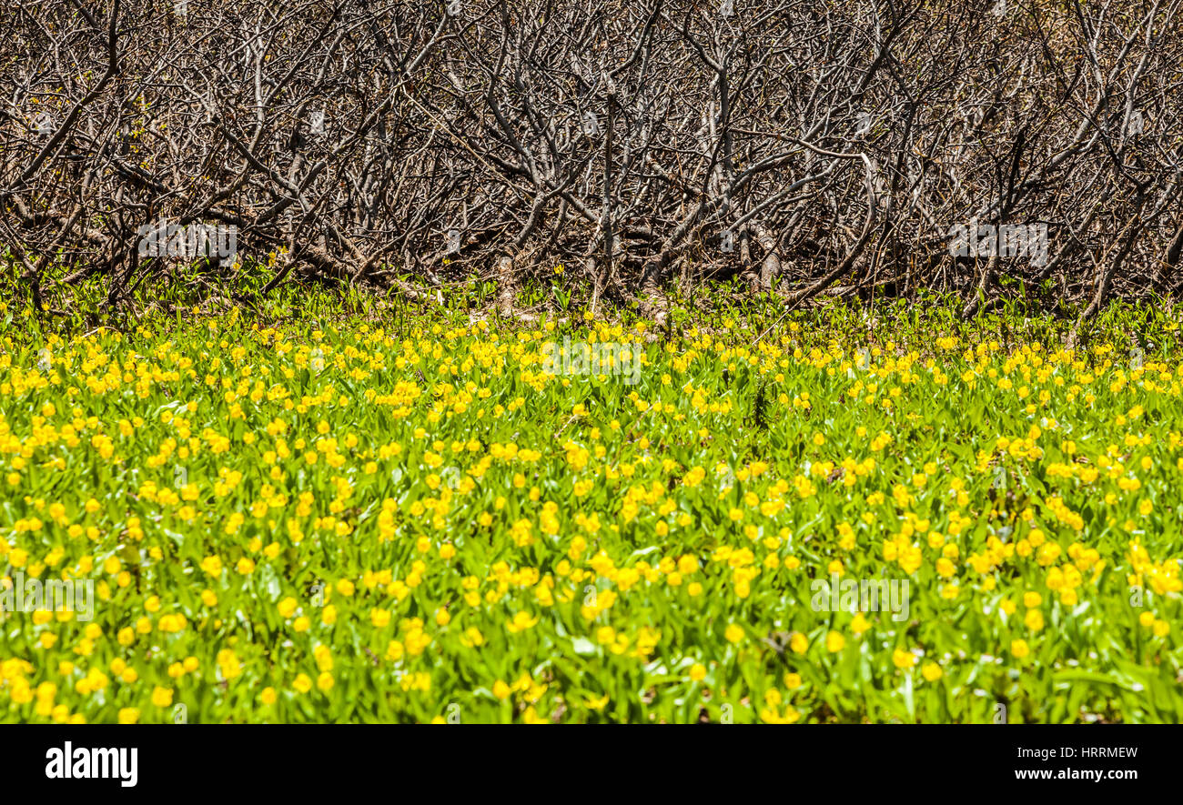 A patch of yellow avalanche lily above a satnd of slide alders in the North Cascades, Washington, USA. - Stock Image