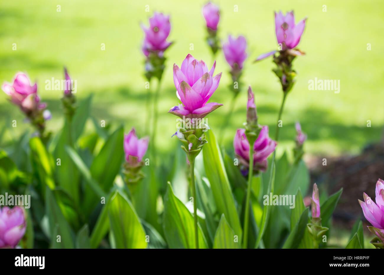 Wallpaper Background Garden Park Outdoor Fog Down Flower Curcuma Sessilisthailand Tropical Forests
