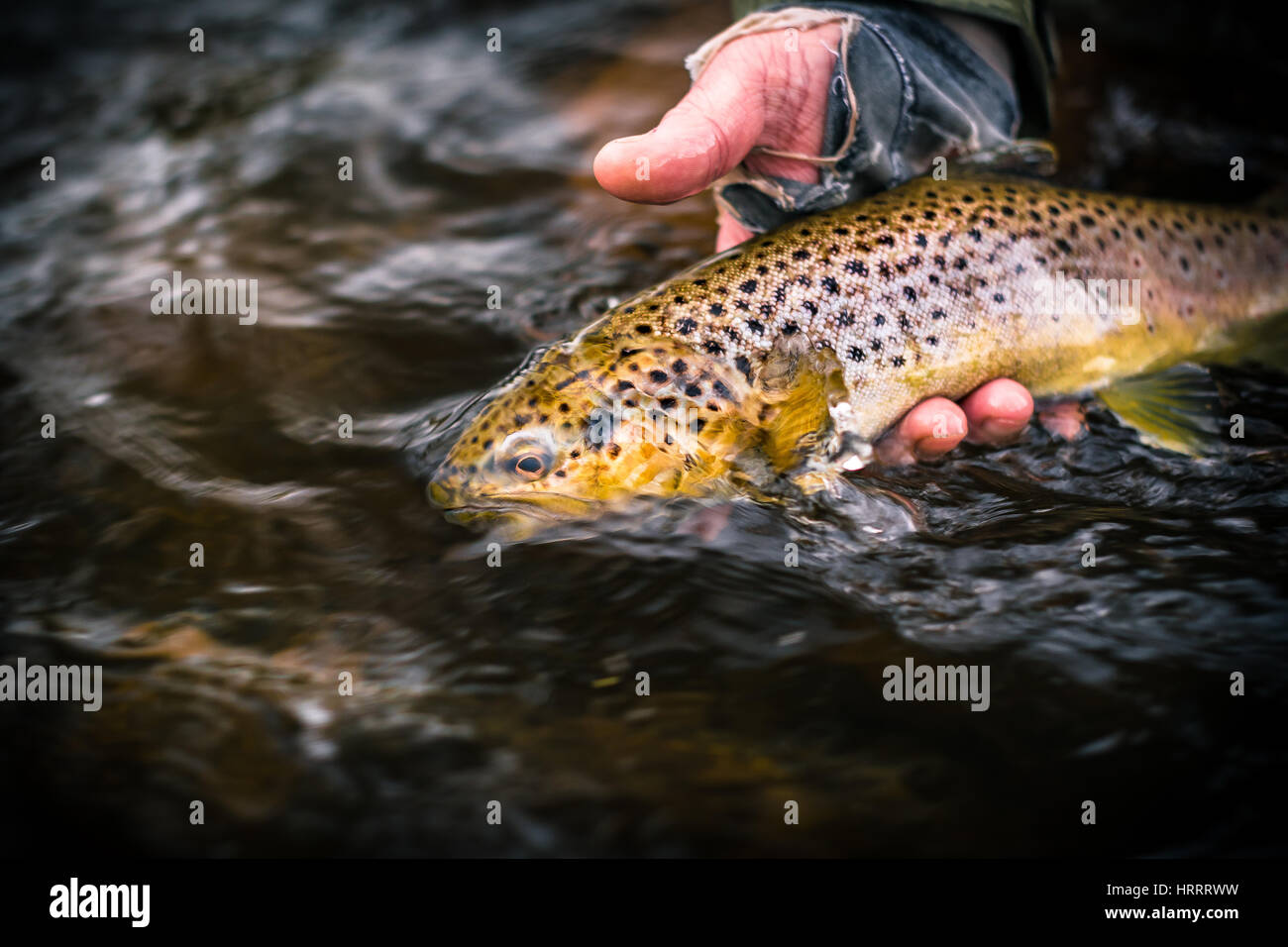 Brown trout caught on a wet fly in Wales, England, fly fishing - Stock Image