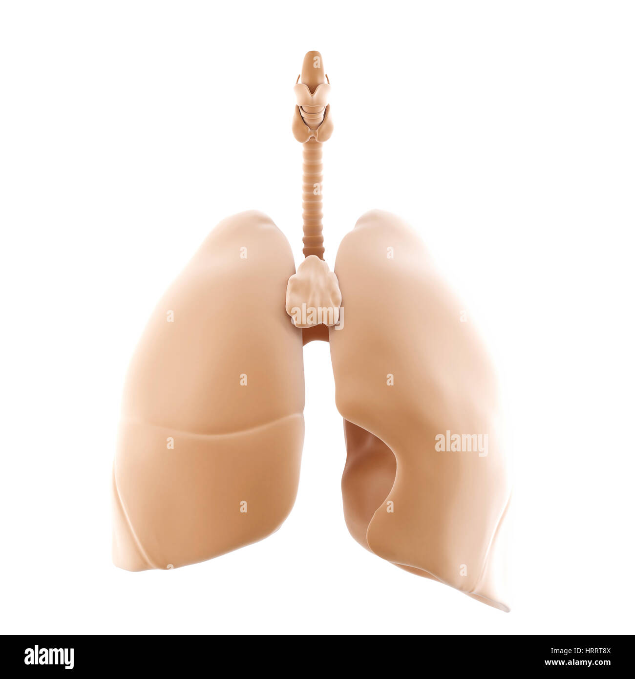 3d rendered of the human lungs. Isolated over white. Contains clipping path - Stock Image