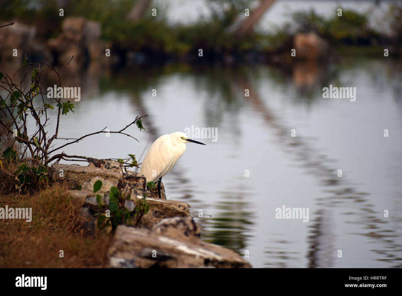 Snowy Egret is a bird type of Egret, which has bushy like feathers. - Stock Image