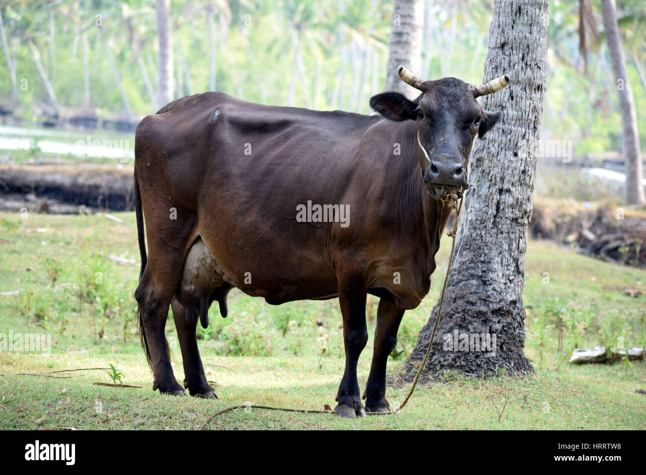 Indian cows which are breed and has high A2 milk production Stock Photo