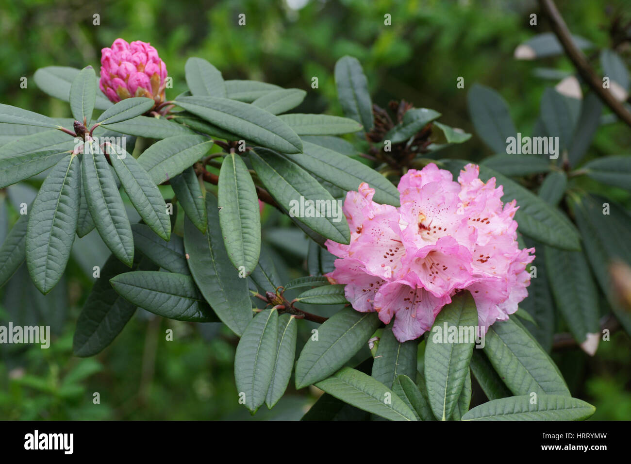 Rhododendron arboreum ssp. cinnamomeum var. roseum - Stock Image