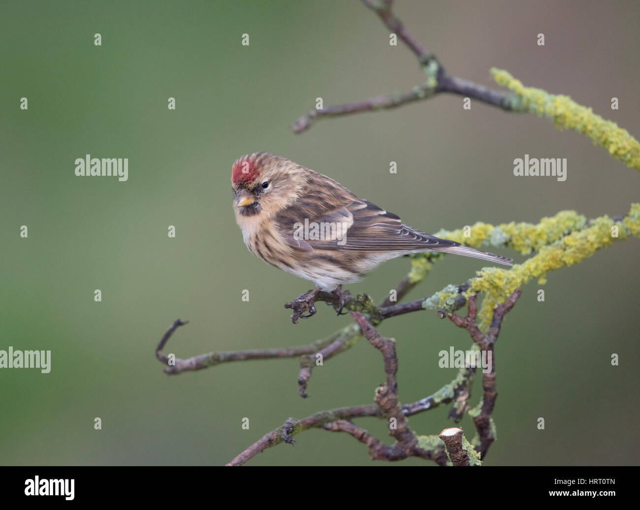 Redpoll  on a lichen covered branch,Wales/Shropshire borders, uk,winter,2017 - Stock Image