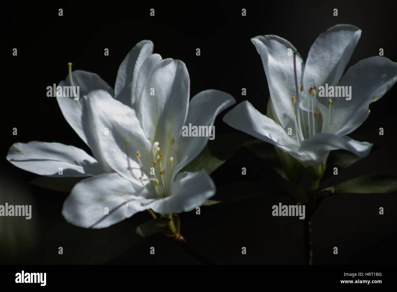 Pure Contrast: 'Girards Pleasant White. White azaleas in bloom: the Rhododendron genus is the largest of the - Stock Image