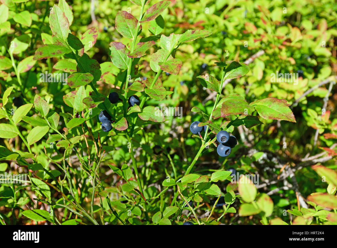 A large Bush of ripe bilberry close up under sunlight. - Stock Image