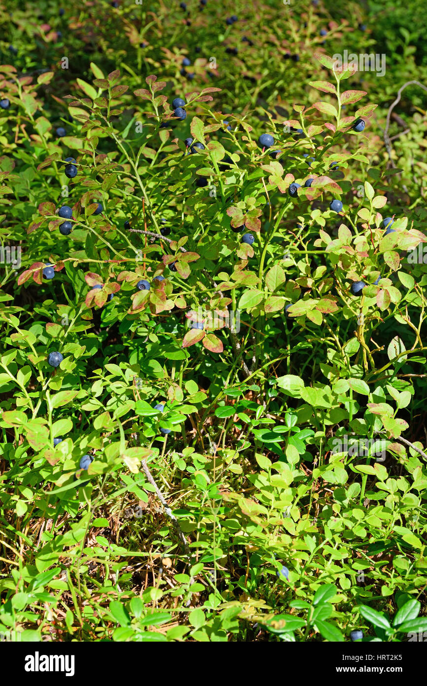 The blueberry Bush with berries close up on a Sunny summer day vertically. - Stock Image