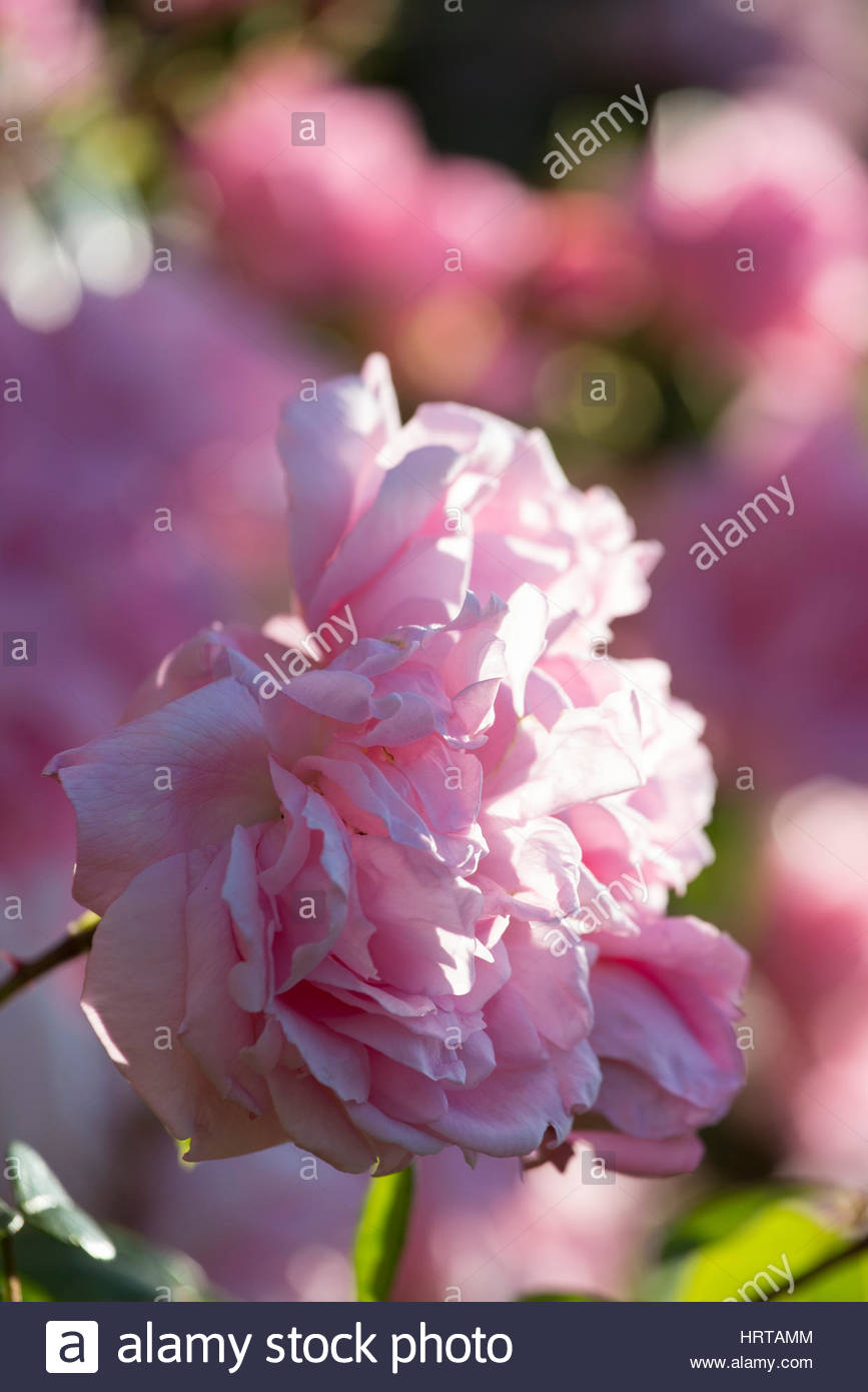 Rose 'Generous Gardener' - Stock Image