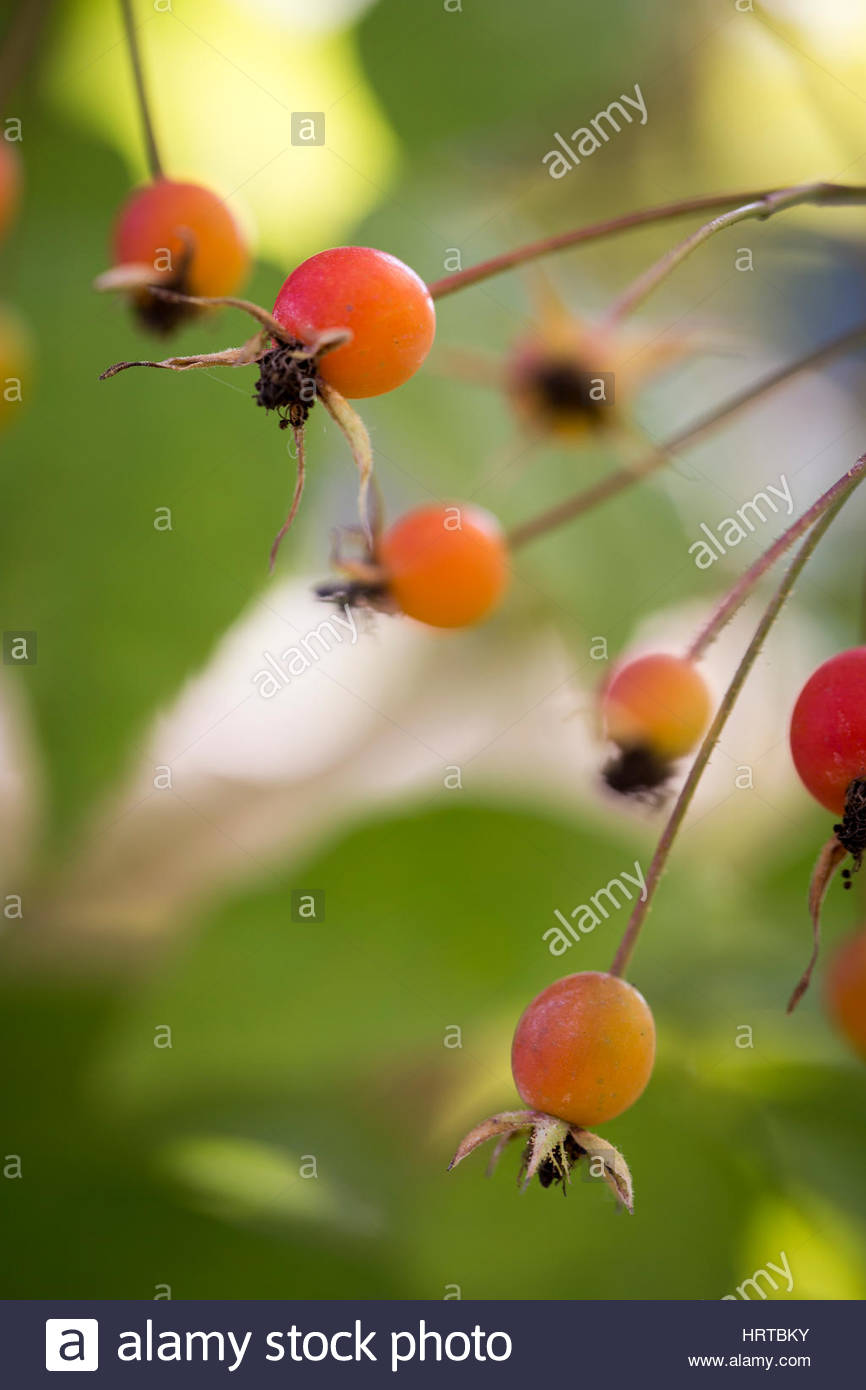 Rose Hips of David Austen Rose 'The Generous Gardener' - Stock Image
