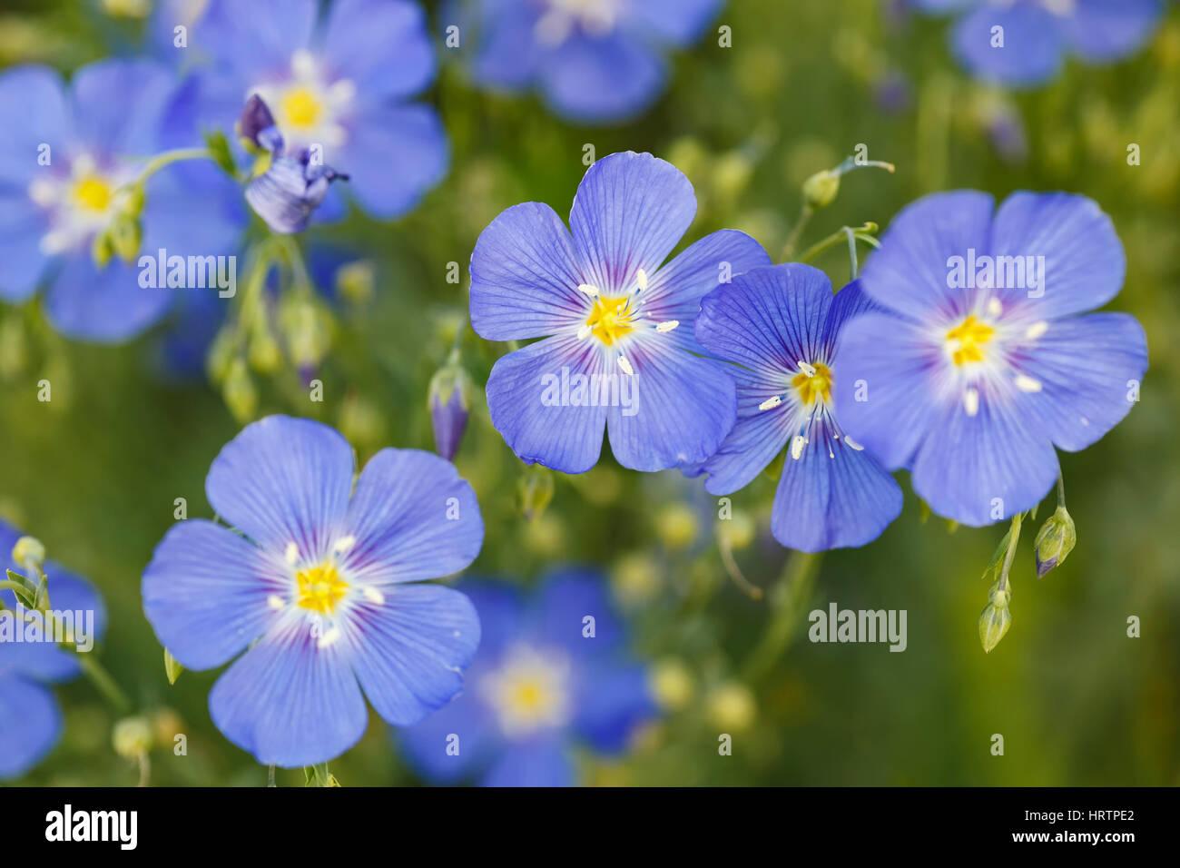Wild Blue Flax (Adenolinim lewsii), Dillon Nature Preserve, Dillon, Colorado USA - Stock Image