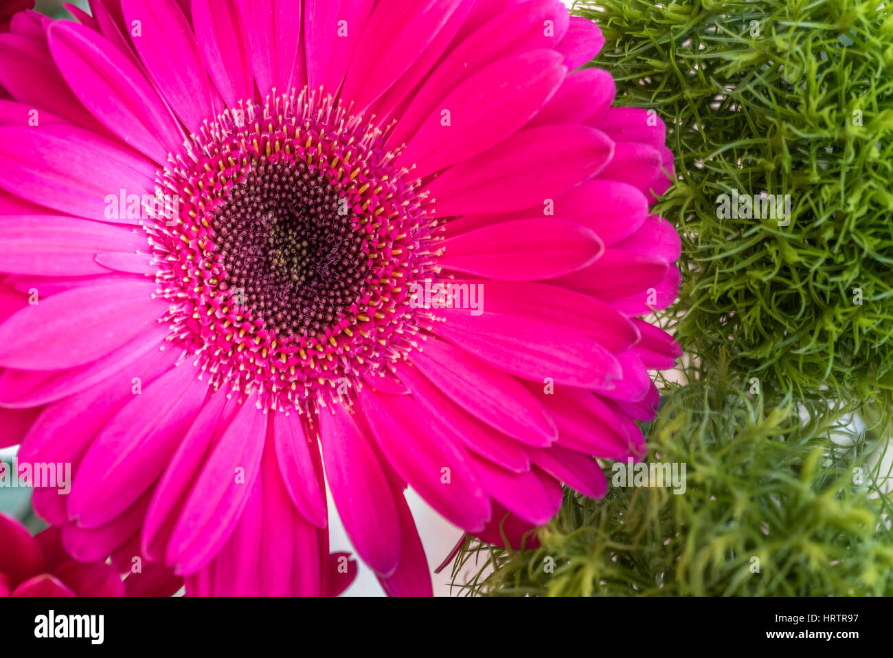 Closeup of a pink gerbera daisy flower on a green spring