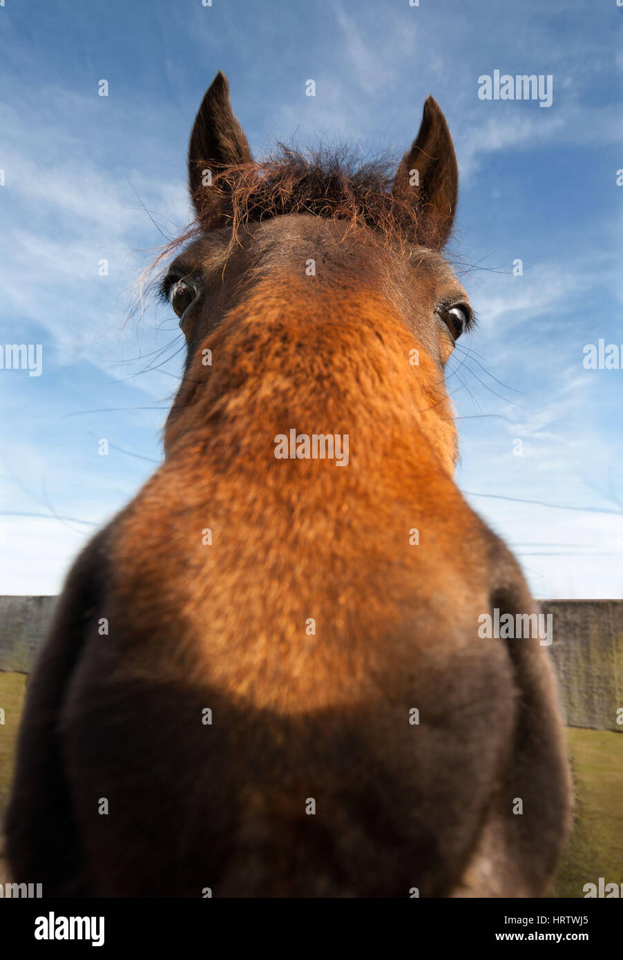 Wild Eyed Funny Horse Closeup Looking At Camera Stock Photo Alamy