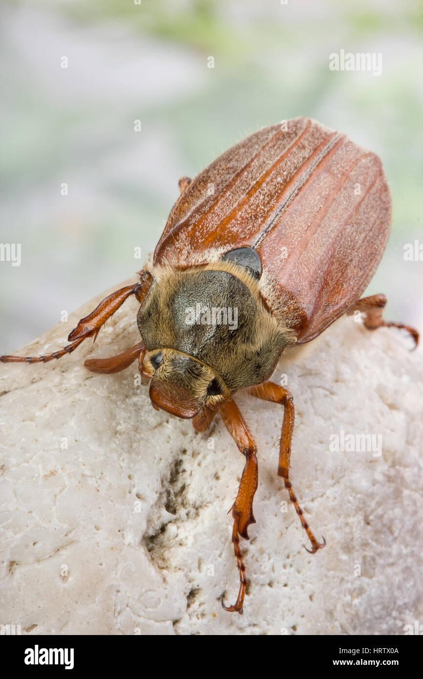 Nice maybug beetle on a grey boulder Stock Photo
