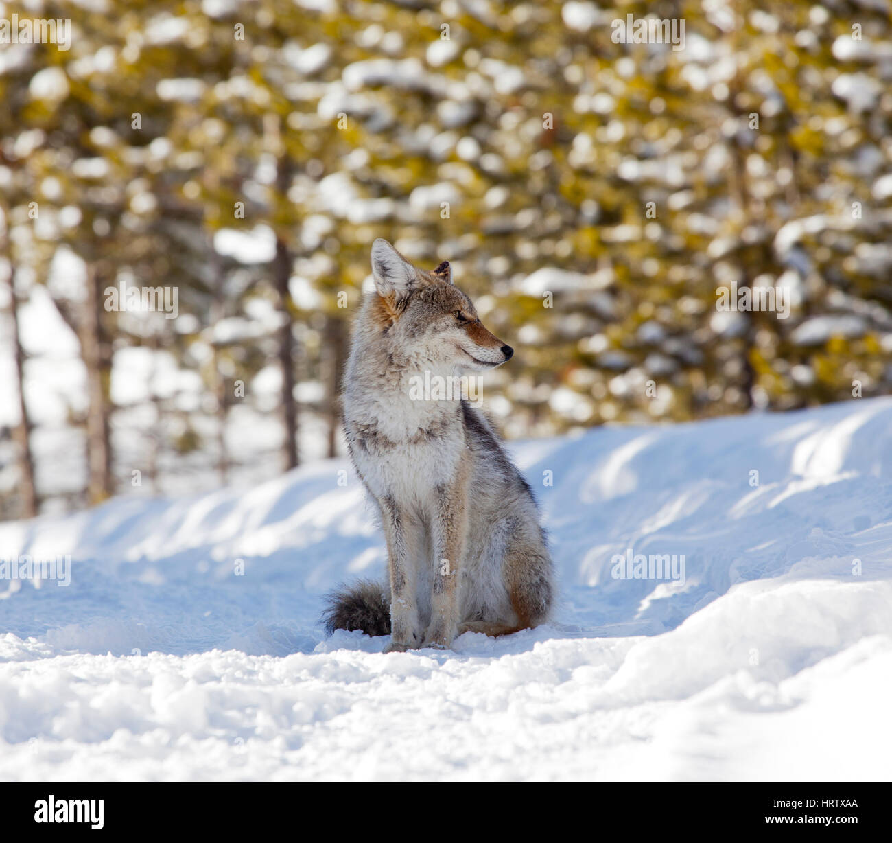Coyote in Yellowstone National Park, Wyoming, USA - Stock Image