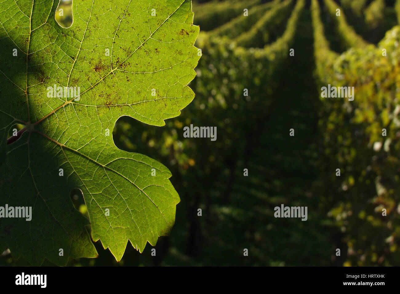 in the  alsacian vineyards in autumn in the countryside a sunny day - Stock Image