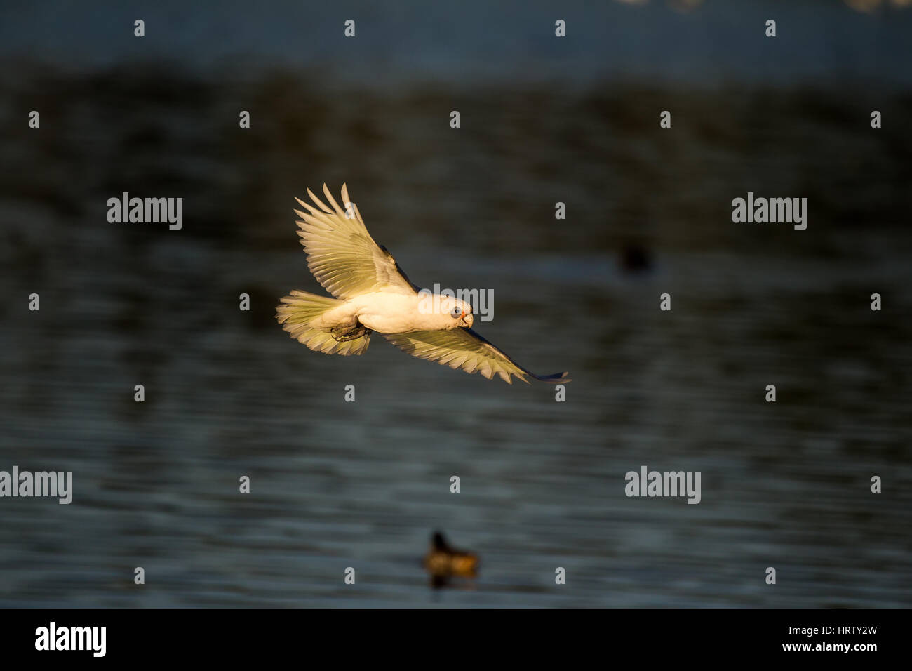Little Corella flying with water background - Stock Image