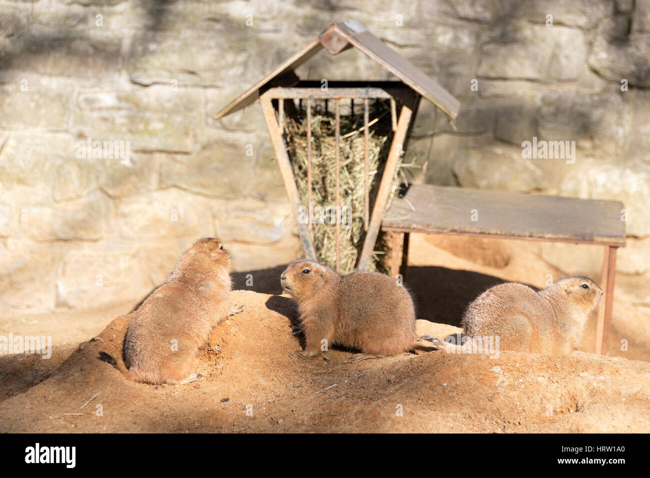 3 prairie dogs in their habitat in an European Zoo. Prairie dogs are herbivorous burrowing rodents native to the - Stock Image