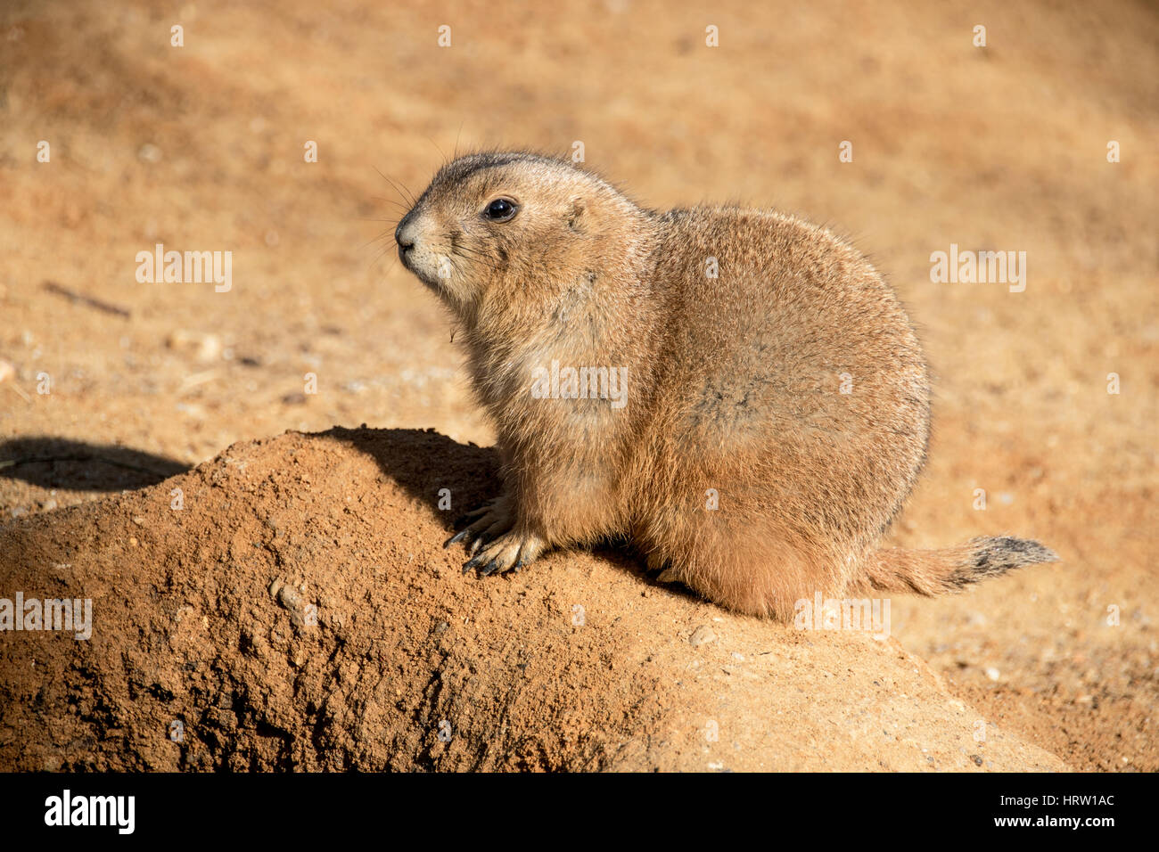 Prairie Dog photographed up close. Prairie dogs (genus Cynomys) are herbivorous burrowing rodents native to the - Stock Image