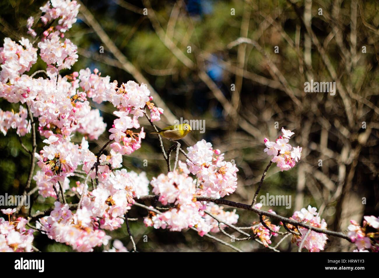A lively Mejiro (Japanese White-Eye) feeding in a plum tree in a ...