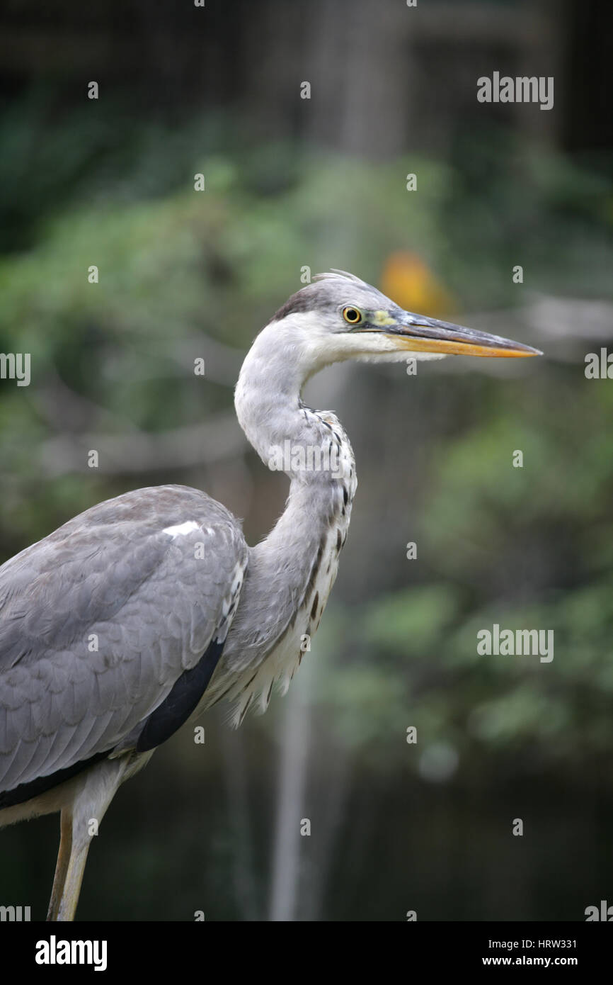 Heron bird motionless and unperturbed by my presence. Grey heron, Kenya. Full frame. - Stock Image