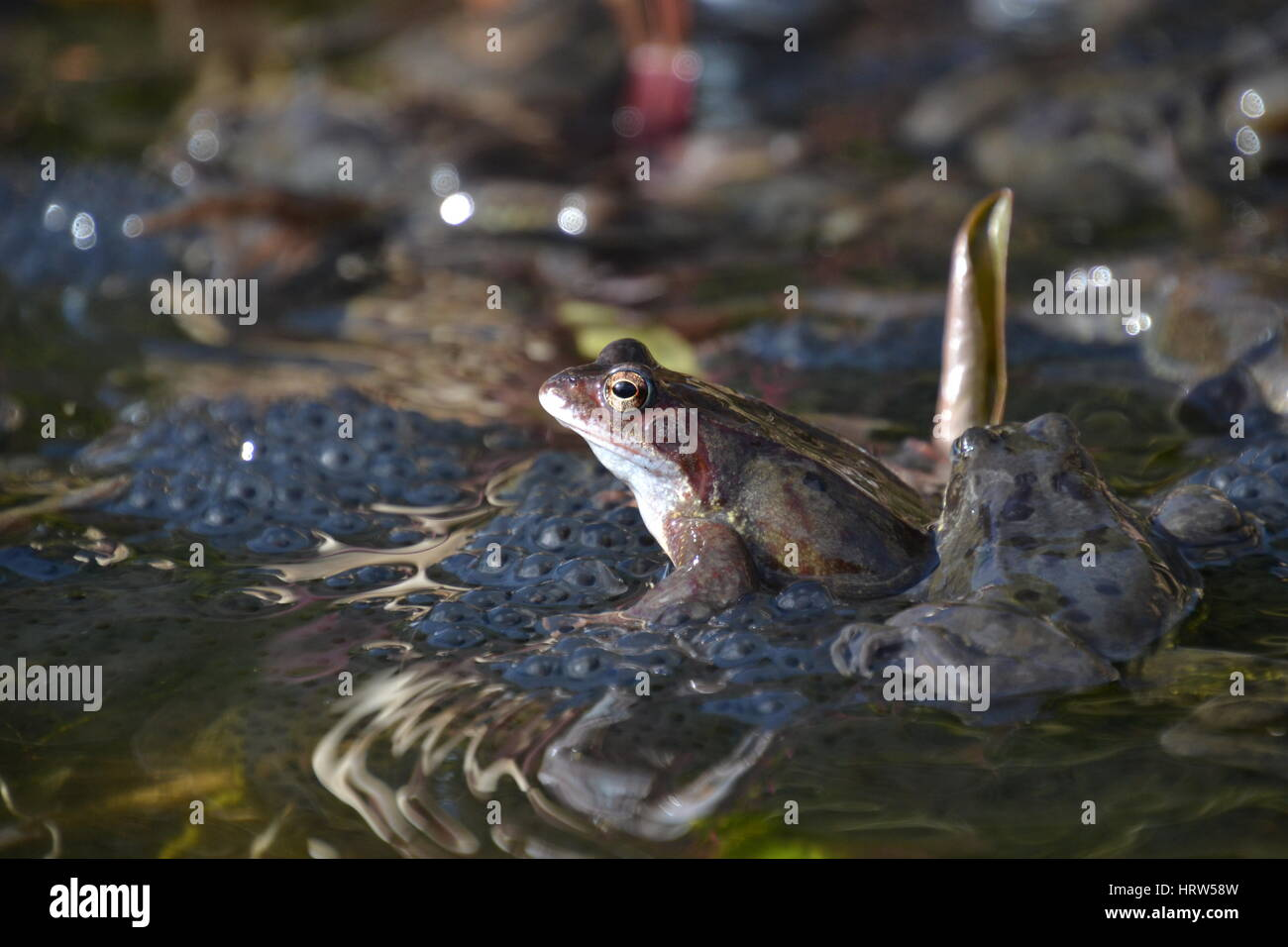 Common frogs in a garden pond, England - Stock Image