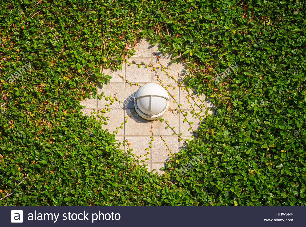 A lamp fixture on a concrete wall surrounded by ivy plant. - Stock Image