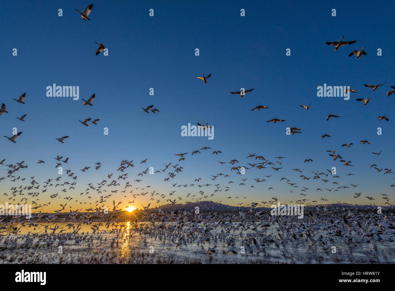 Snow geese at Bosque del Apache National Wildlife Refuge, New Mexico. Stock Photo