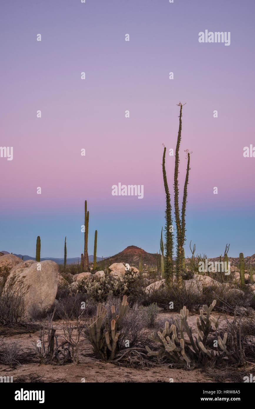 Boojum trees (Cirio), cholla and cardon cactus; Valle de los Cirios, Catavina Desert, Baja California, Mexico. Stock Photo