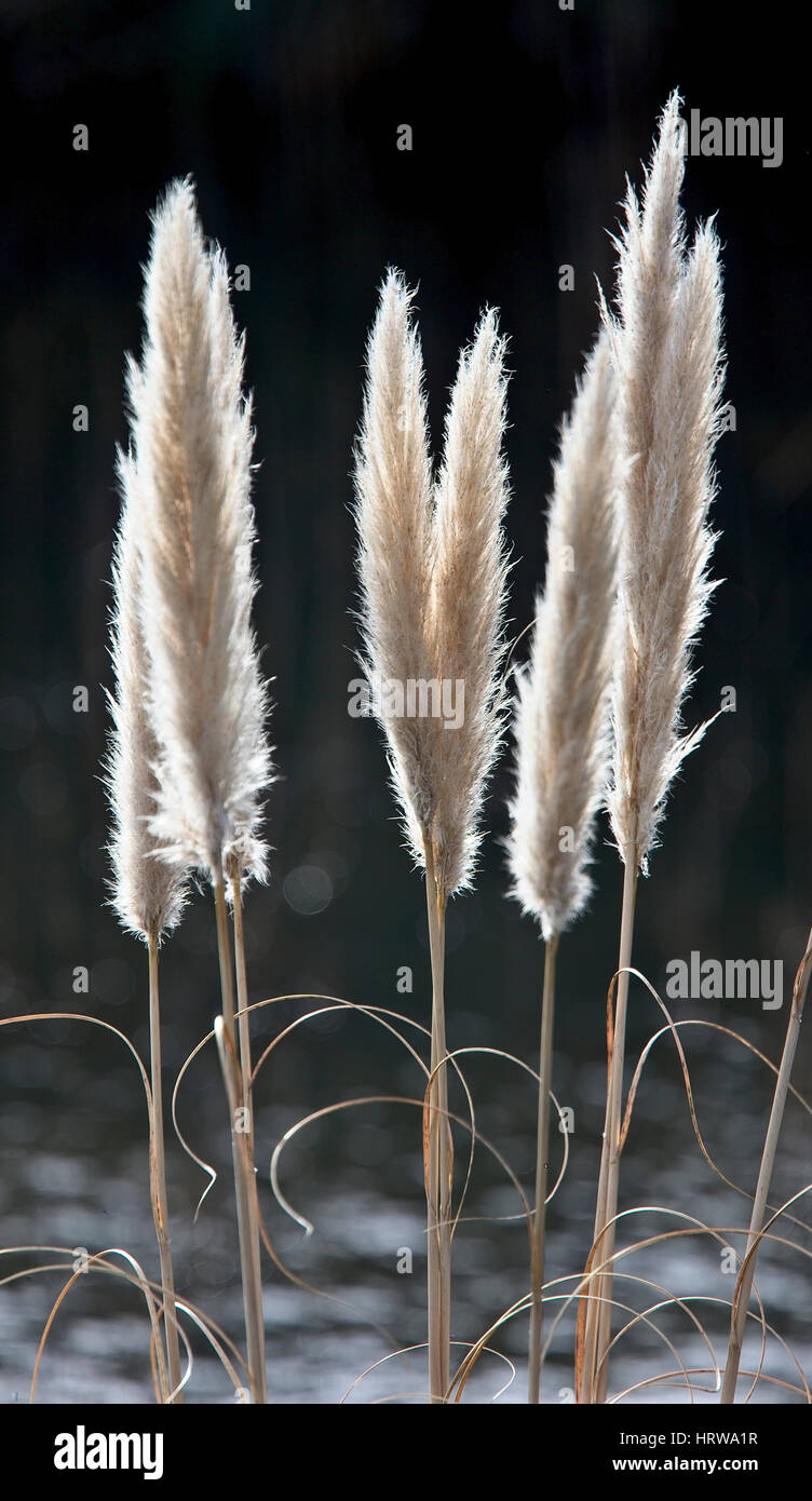 grass cortaderia selloana close up stock photos grass. Black Bedroom Furniture Sets. Home Design Ideas