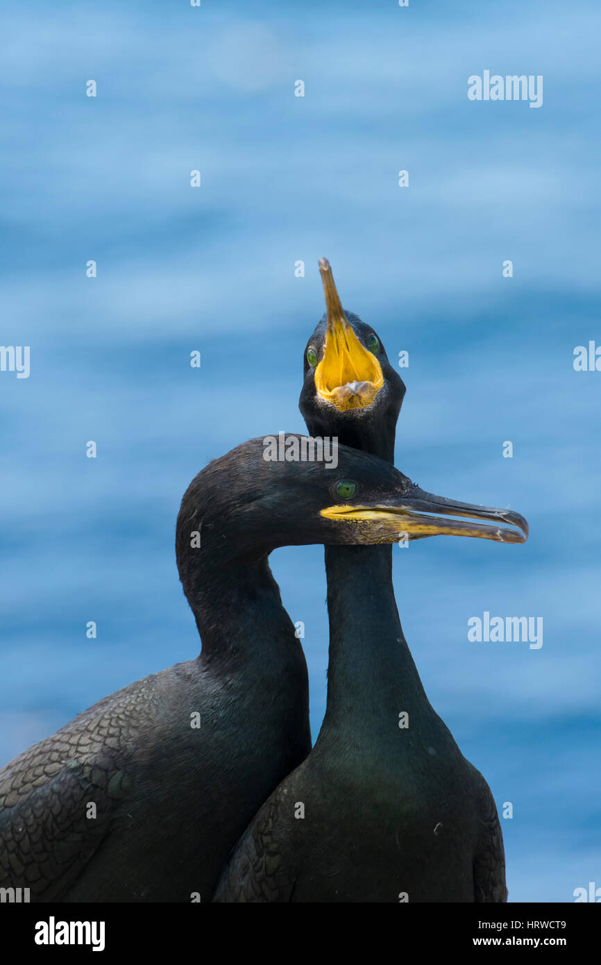 a pair of European Shag (Phalacrocorax aristotelis) enagaged in courtship display, Farne Isles; Northumberland; - Stock Image