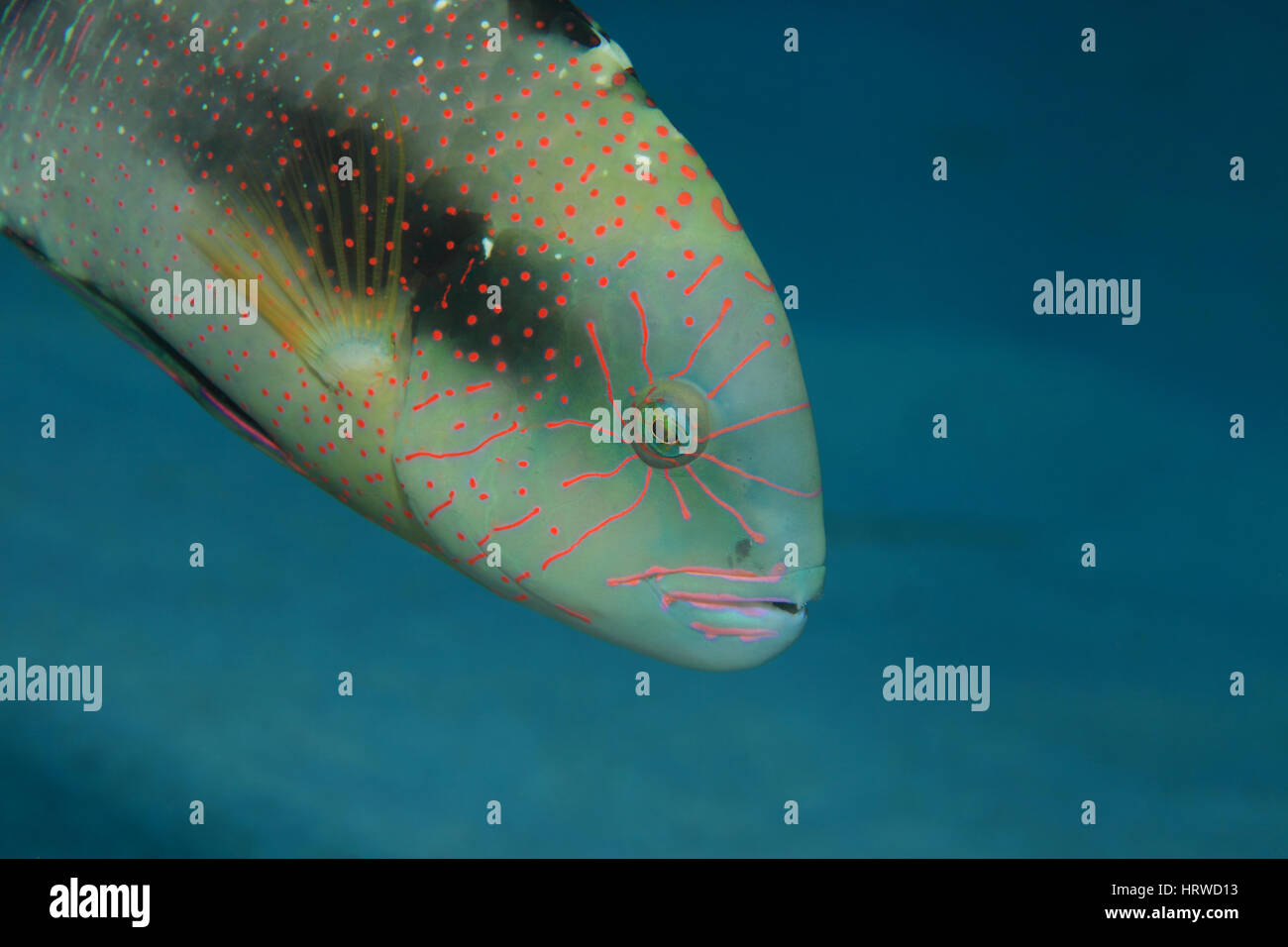 Abudjubbe wrasse fish (Cheilinus abudjubbe) underwater in the tropical Red Sea - Stock Image