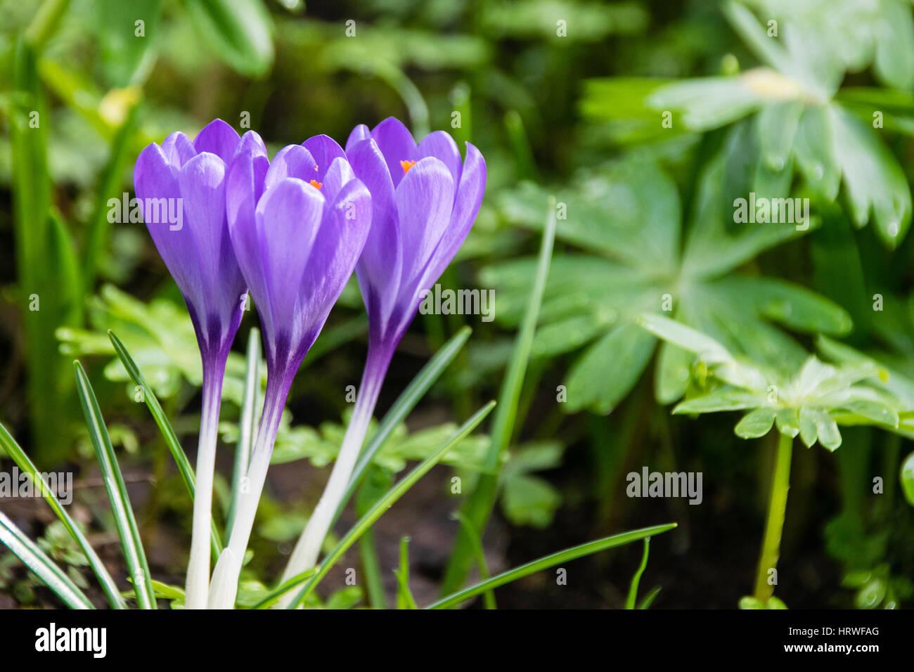 Blooming Purple Crocus Flowers In Early Spring Hertford Uk Stock
