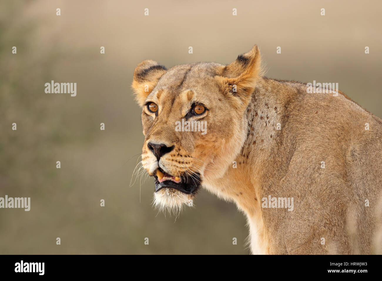 Portrait of an African lioness (Panthera leo), Kalahari desert, South Africa Stock Photo