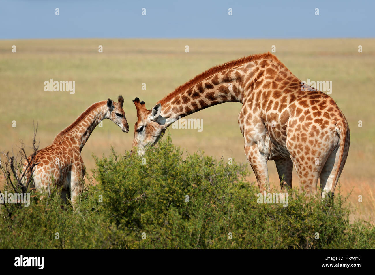 A giraffe cow (Giraffa camelopardalis) and young calf, South Africa - Stock Image