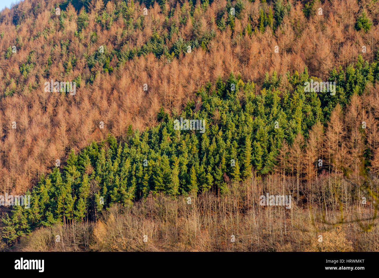 Conifer woods in The countryside around Llangollen and the Horseshoe pass. - Stock Image