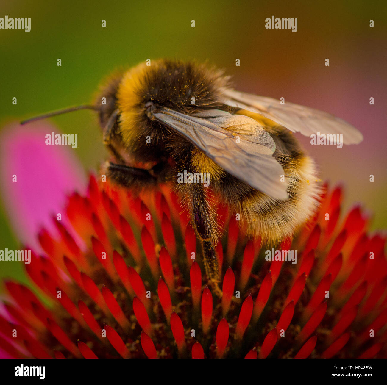 Bumble Bee collecting pollen from the garden flower - Stock Image