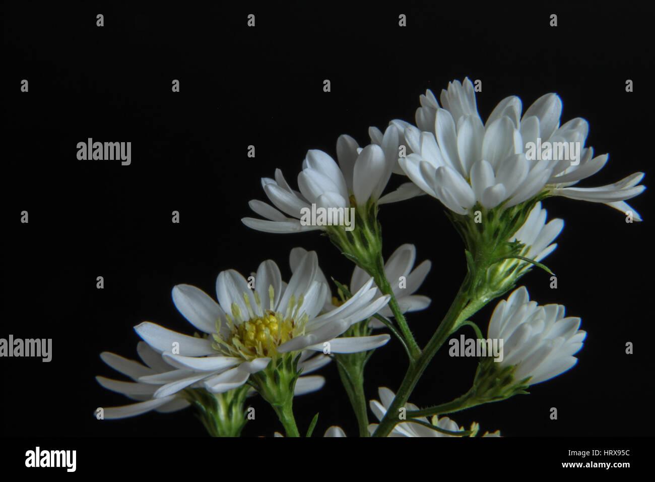 Simple is the best - Chrysanthemum japonense on black background also known as ashizuri noji-giku Ashizuri - Stock Image
