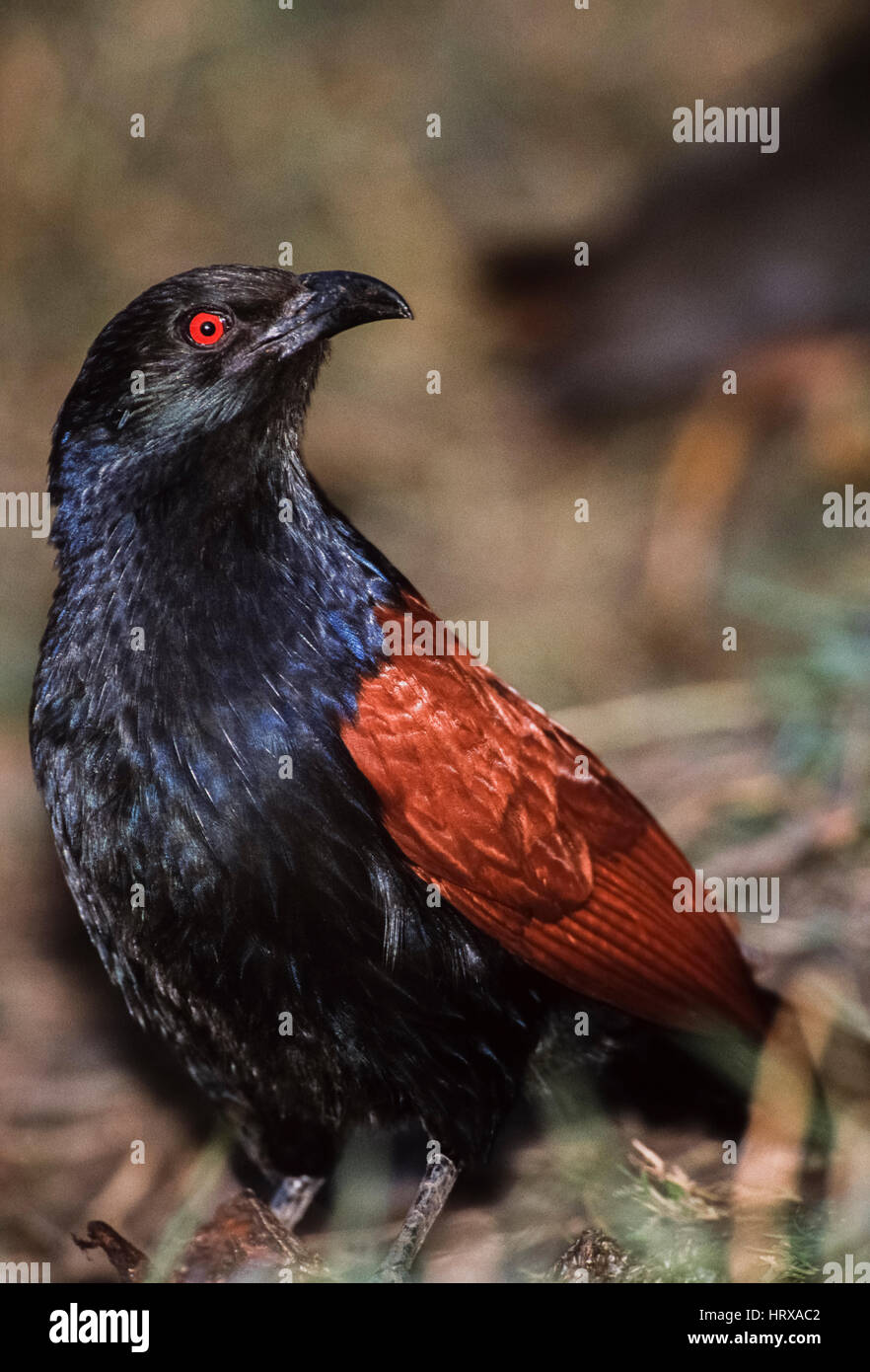 Greater Coucal or Crow Pheasant,(Centropus sinensis), Keoladeo Ghana National Park, Bharatpur, Rajasthan, India - Stock Image